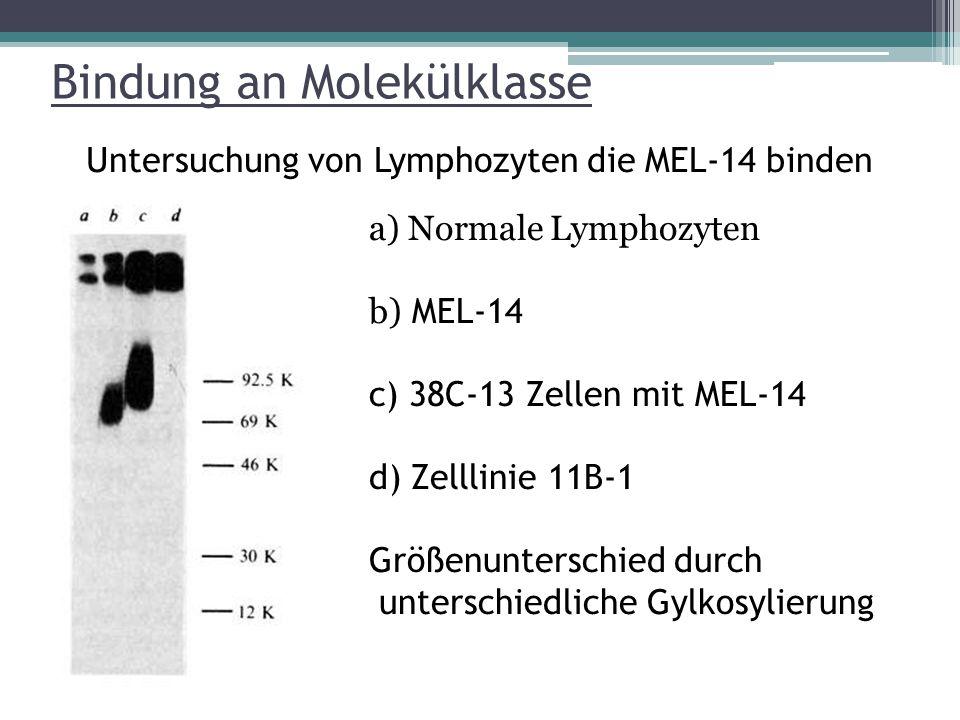 Bindung an Molekülklasse Untersuchung von Lymphozyten die MEL-14 binden a) Normale Lymphozyten b) MEL-14 c) 38C-13 Zellen mit MEL-14 d) Zelllinie 11B-1 Größenunterschied durch unterschiedliche Gylkosylierung
