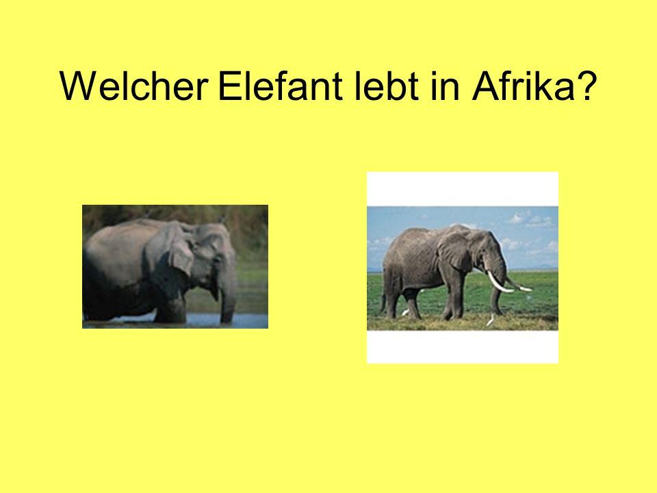 Welcher Elefant lebt in Afrika?