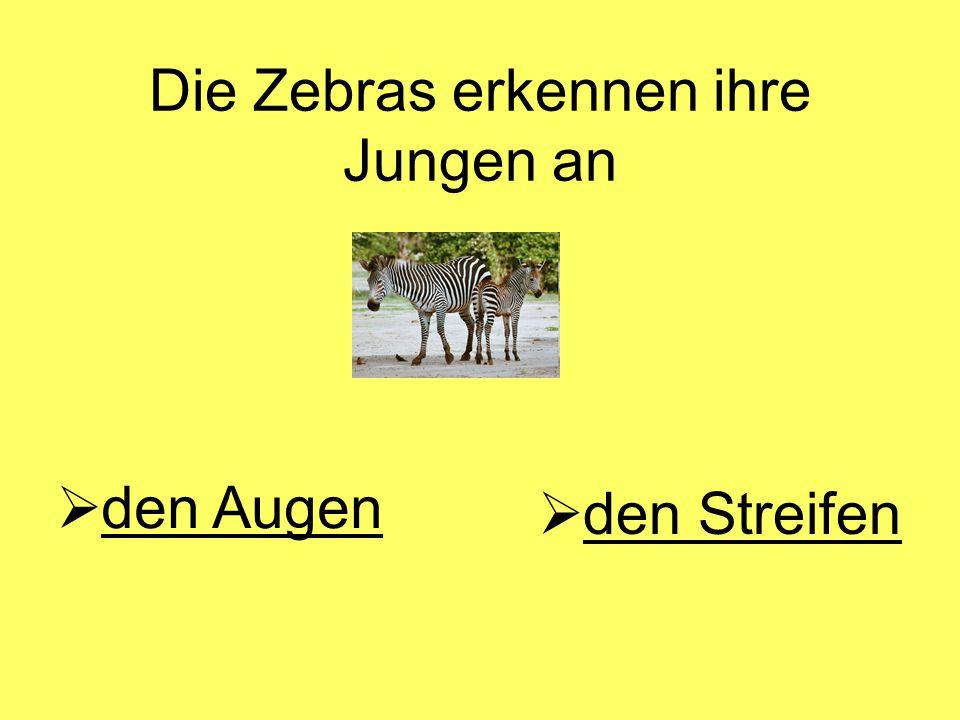 Die Zebras erkennen ihre Jungen an  den Streifenden  den Augenden Augen