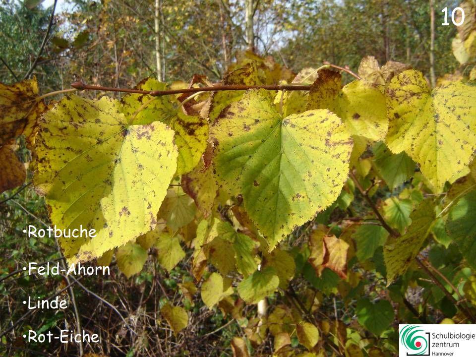 Feld-Ahorn Berg-Ahorn Stiel-Eiche Rotbuche 9