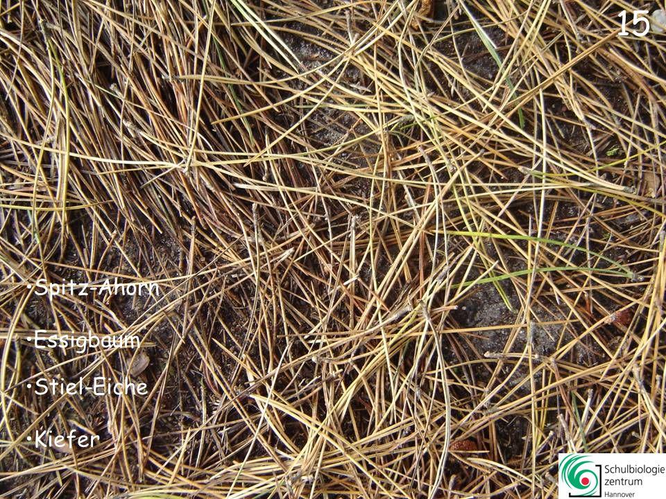 14 Kanadische Pappel Stiel-Eiche Eberesche Linde