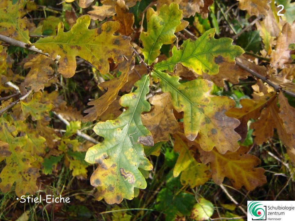 42 Kornelkirsche Berberitze Rot-Eiche Essigbaum