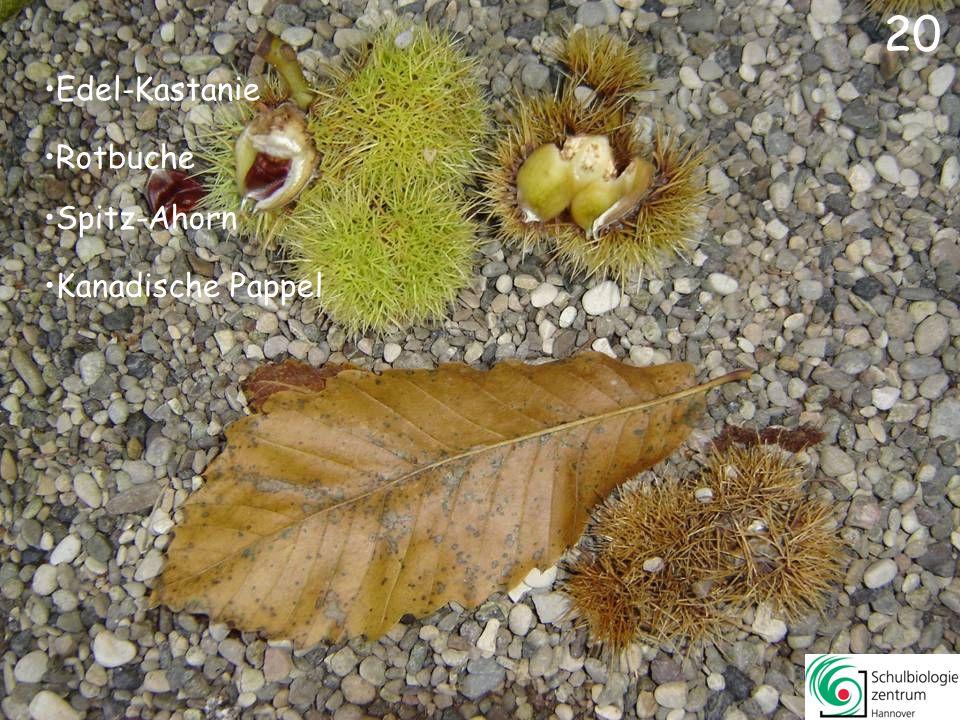 Amberbaum Platane Essigbaum Rot-Eiche 19