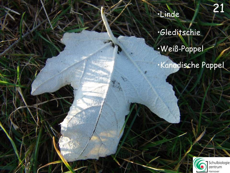 Edel-Kastanie Spitz-Ahorn Kanadische PappelKanadische Pappel Rotbuche 20