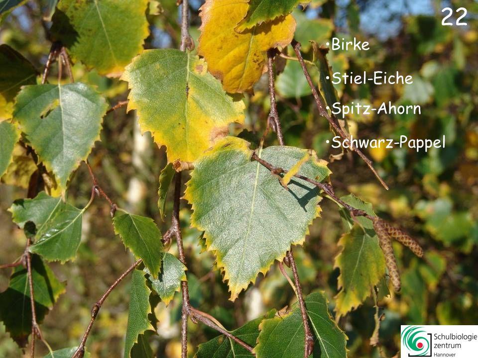 21 Weiß-Pappel Gleditschie Kanadische Pappel Linde