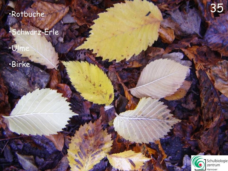 Jungfernrebe (Parthenocissus)Jungfernrebe (Parthenocissus) Spitz-Ahorn Platane Essigbaum 34