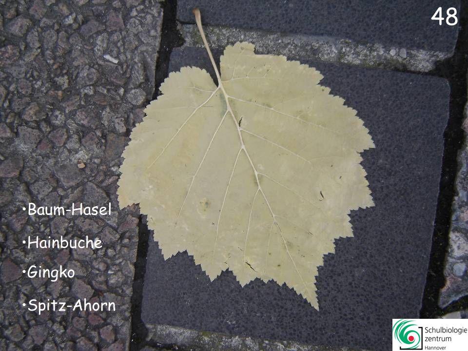 47 Rot-Eiche Platane Mehlbeere Amberbaum