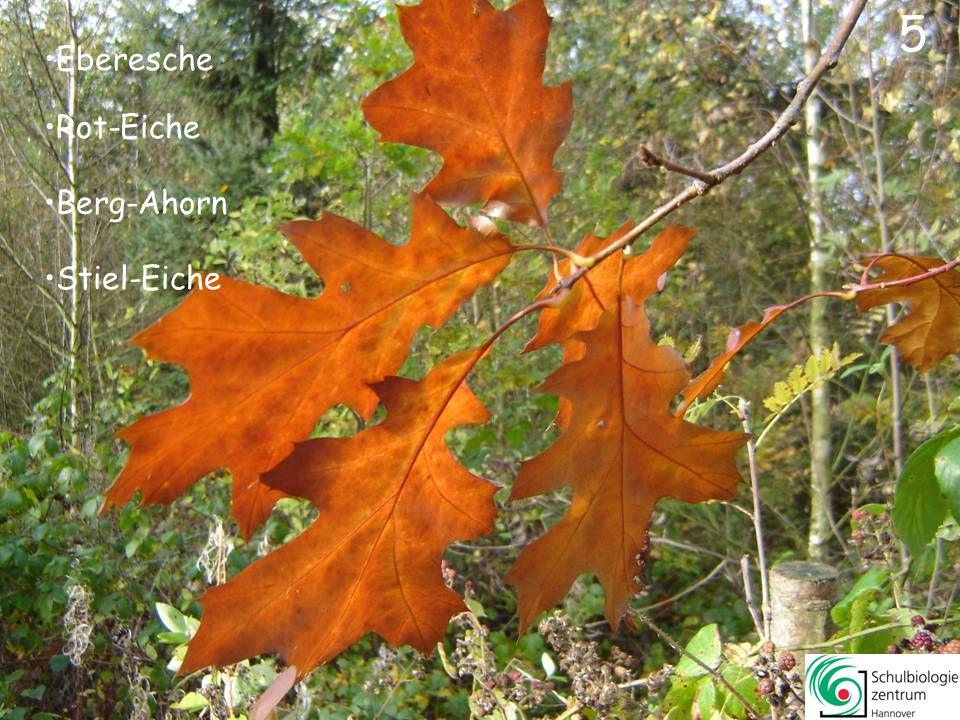 Rot-Eiche Berg-Ahorn Stiel-Eiche Eberesche 5