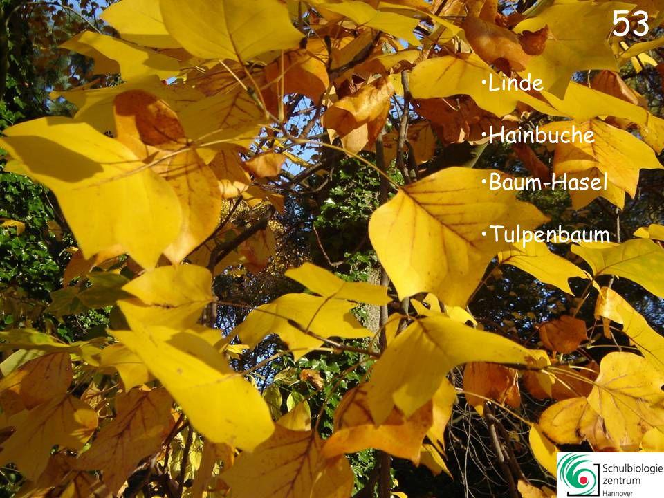 52 Fächer-Ahorn Amberbaum Rot-Eiche Essigbaum