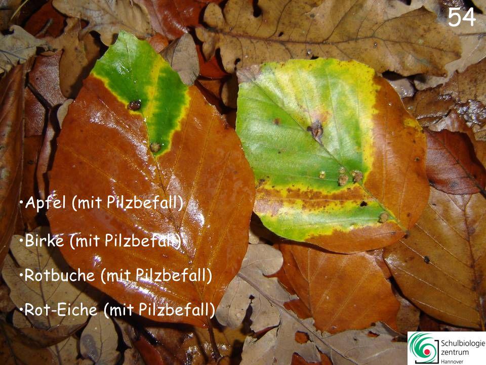 Tulpenbaum Hainbuche Baum-Hasel Linde 53