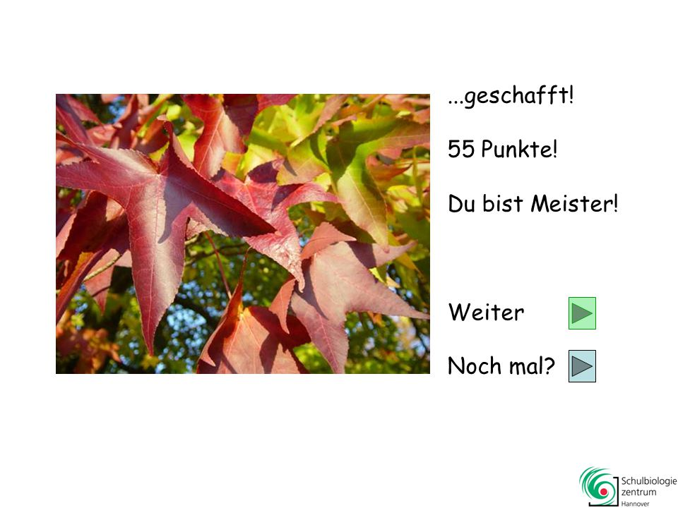 Lärche Gleditschie Baum-Hasel Kiefer 55