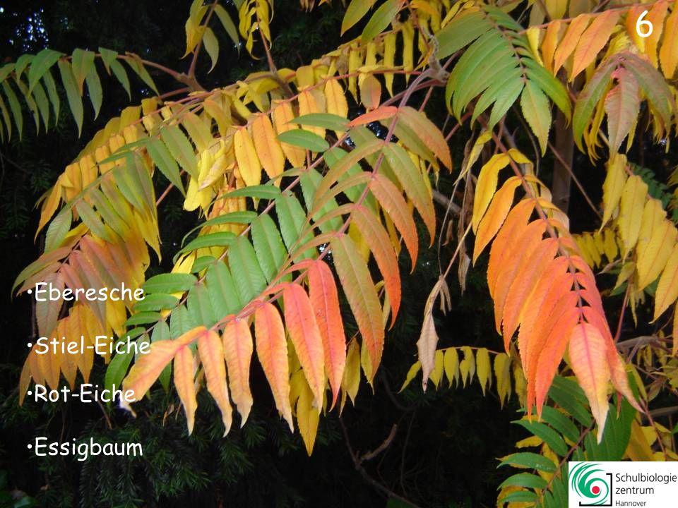 Essigbaum Stiel-Eiche Rot-Eiche Eberesche 6