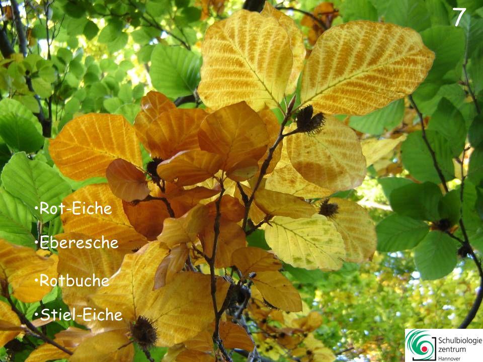 1Titel27Crataegus monogynaWeißdorn 2Quercus roburStiel-Eiche28Malus domesticaApfel 3Sorbus aucupariaEberesche29Berberis vulgarisBerberitze (Sauerdorn) 4Acer pseudoplatanusBerg-Ahorn30Sorbus intermediaSchwedische Mehlbeere 5Quercus rubraRot-Eiche31Alnus glutinosaSchwarz-Erle 6Rhus typhinaEssigbaum32Rosa rugosaRunzelrose (Dünenrose) 7Fagus sylvaticaRotbuche33Populus albaWeiß-Pappel (Silber-Pappel) 8Aesculus hippocastanumRoss-Kastanie34Parthenocissus spec.Jungfernrebe 9Acer campestreFeld-Ahorn35Ulmus laevis(Flatter-)Ulme 10Tilia platyphyllos(Sommer-)Linde36Gingko bilobaGingko 11Populus nigraSchwarz-Pappel37Carpinus betulusHainbuche 12Platanus x hybridaPlatane38Cerasus avium(Süß-)Kirsche 13Acer platanoidesSpitz-Ahorn39Acer platanoidesSpitz-Ahorn 14Populus x canadensisKanadische Pappel40Corylus avellana(Gemeine) Hasel 15Pinus sylvaticaWald-Kiefer41Fagus sylvaticaRotbuche 16Gleditsia triacanthos(Amerikanische) Gleditschie42Cornus masKornelkirsche 17Aesculus hippocastanumRoss-Kastanie43Robinia pseudoacaciaRobinie 18Salix albaSilber-Weide44Metasequoia glyptostroboidesUrwelt-Mammutbaum 19Liquidambar styracifluaAmberbaum45Hamamelis mollisZaubernuss 20Castanea sativaEdel-Kastanie (Esskastanie)46Tilia platyphyllos(Sommer-)Linde 21Populus albaWeiß-Pappel (Silber-Pappel)47Quercus rubraRot-Eiche 22Betula pendula(Gemeine) Birke48Corylus colurnaBaum-Hasel 23Fraxinus excelsior(Gemeine) Esche49Platanus specPlatane 24Populus tremulaZitter-Pappel50Acer saccharinumSilber-Ahorn 25Quercus roburStiel-Eiche51Acer pseudoplatanusBerg-Ahorn 26Salix cinereaGrau-Weide52Acer palmatumFächer-Ahorn 53Liriodendron tulipiferaTulpenbaum 54Fagus sylvaticaRotbuche 55Larix europea(Europäische) Lärche Inhalt: weiter