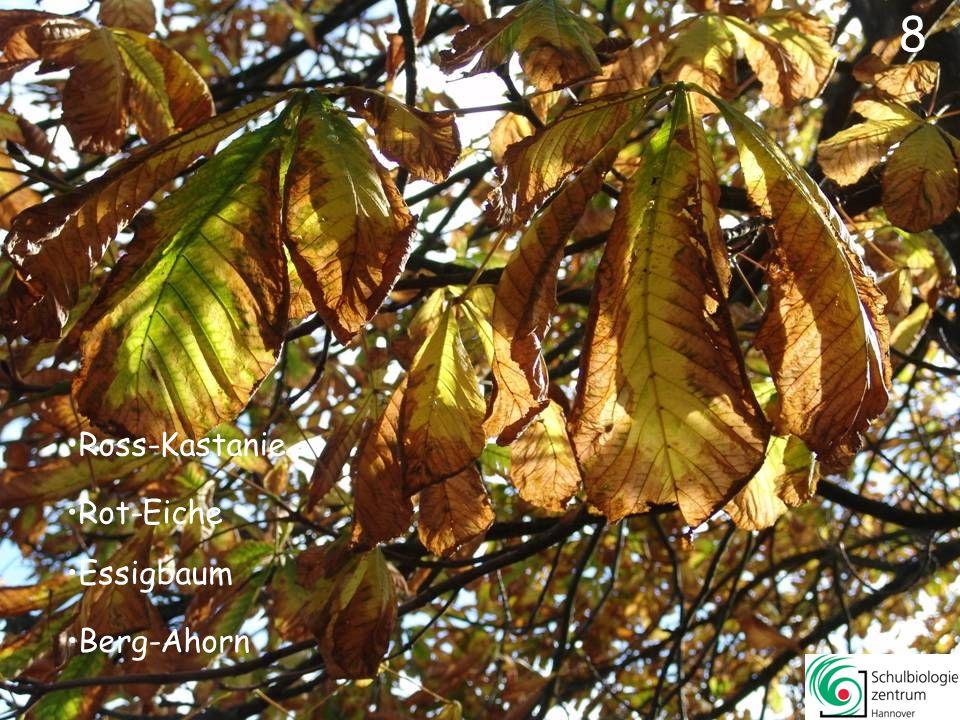 28 Apfel Amberbaum Esche Rot-Eiche