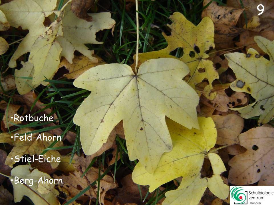 39 Spitz-Ahorn Amberbaum Weiß-Pappel Platane
