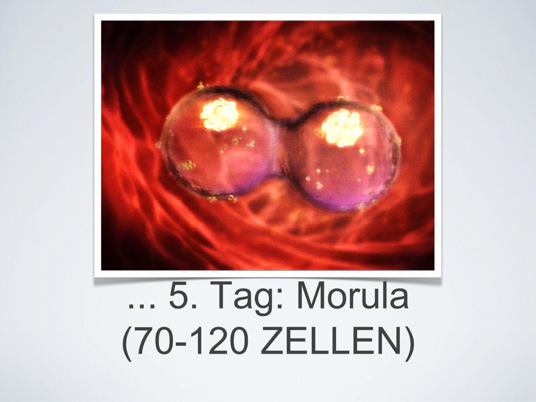 ... 5. Tag: Morula (70-120 ZELLEN)