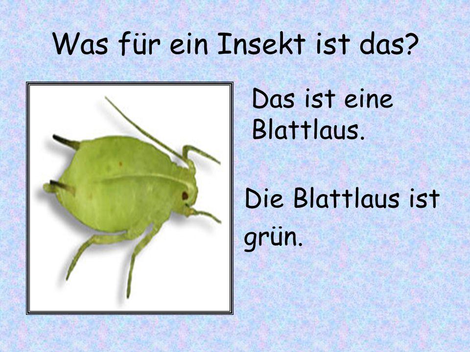 Was für ein Insekt ist das? Die Blattlaus ist grün. Das ist eine Blattlaus.