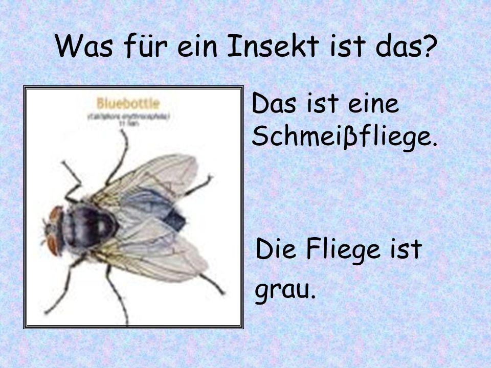 Was für ein Insekt ist das? Die Fliege ist grau. Das ist eine Schmeiβfliege.