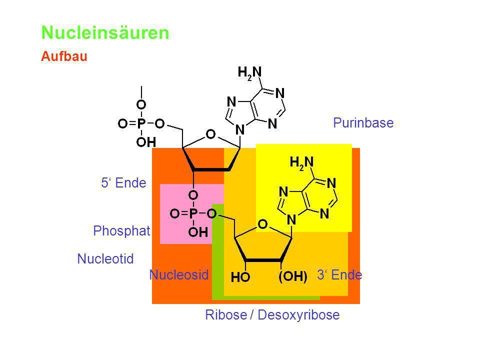 Nucleinsäuren Aufbau Purinbase Nucleosid Ribose / Desoxyribose Phosphat Nucleotid 5' Ende 3' Ende
