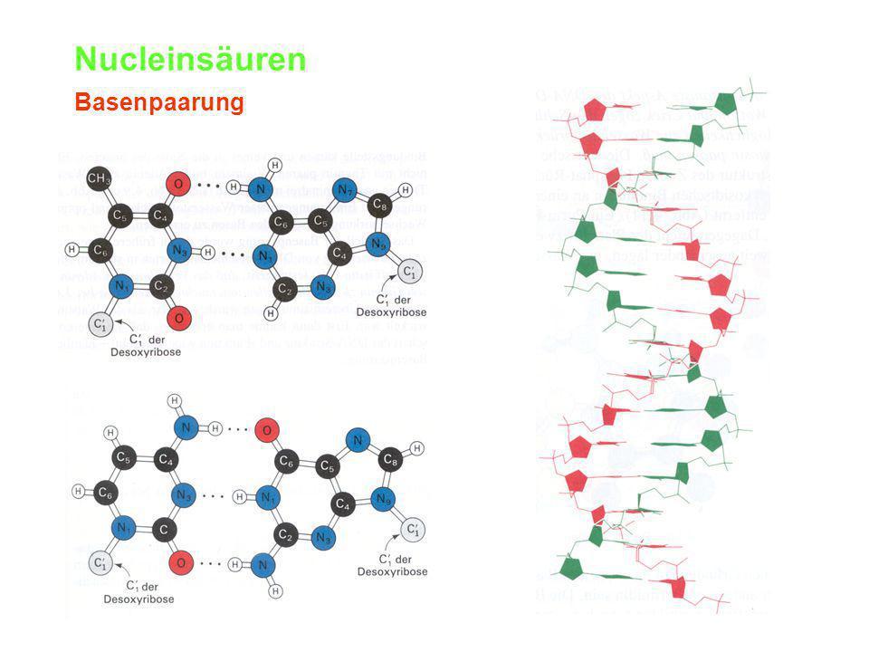 Nucleinsäuren Basenpaarung