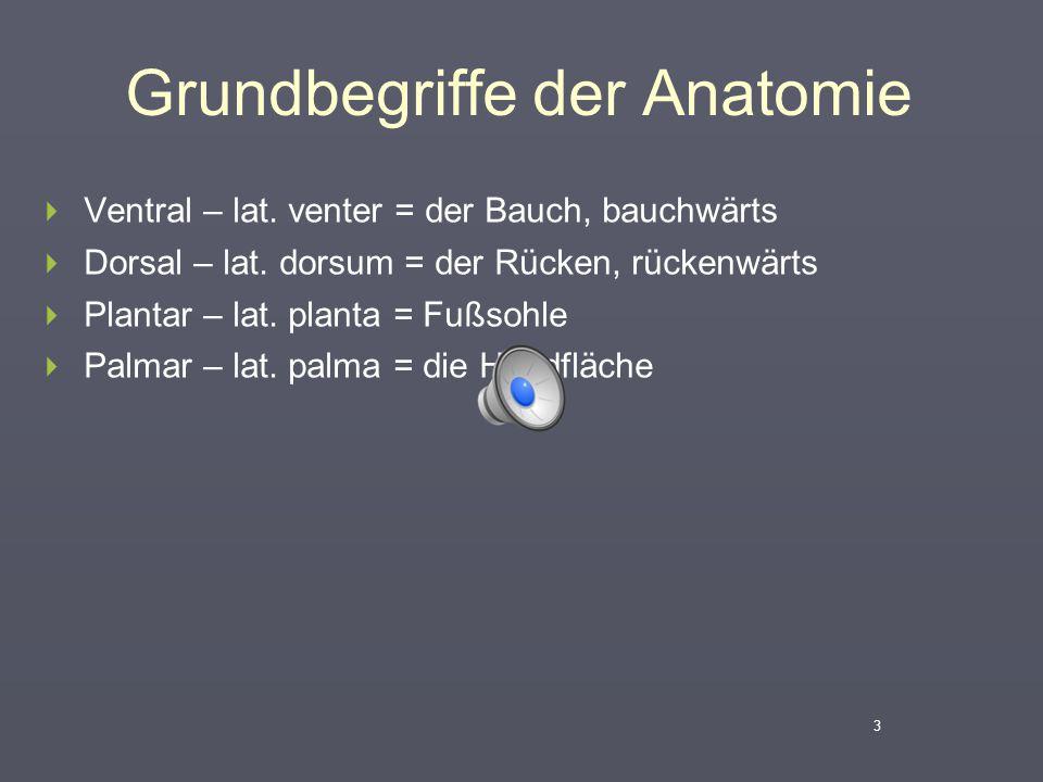 Grundbegriffe der Anatomie  Ventral – lat. venter = der Bauch, bauchwärts  Dorsal – lat. dorsum = der Rücken, rückenwärts  Plantar – lat. planta =