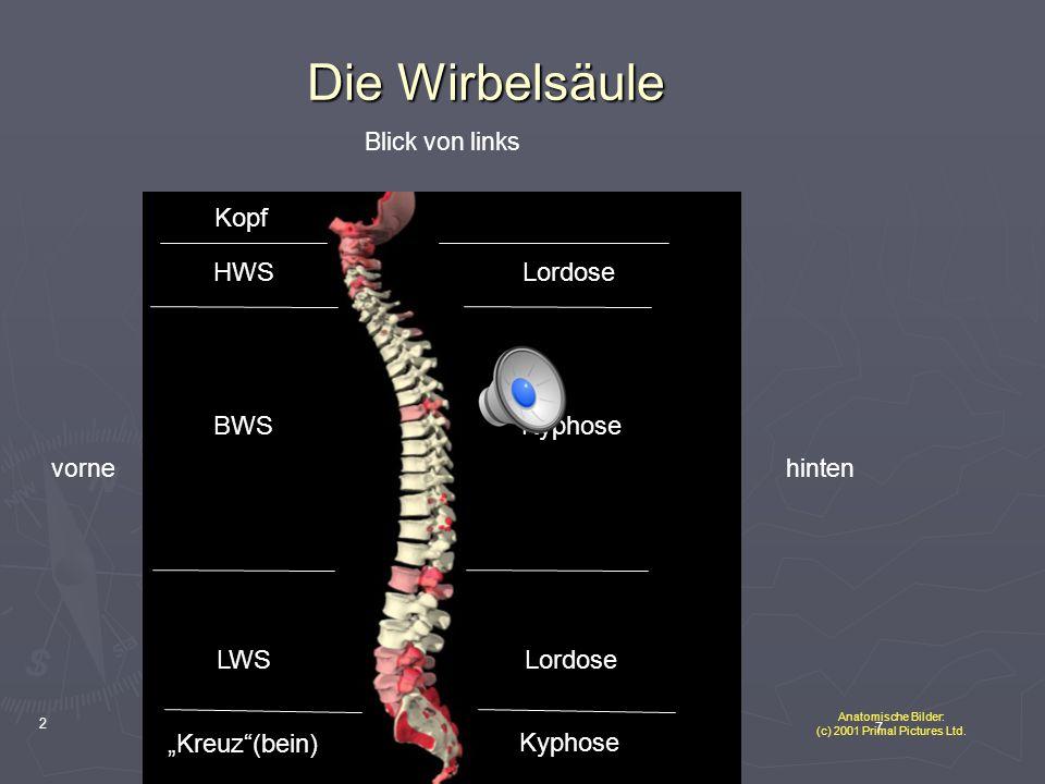 """8 3 Die Wirbelsäule HWS BWS LWS """"Kreuz (bein) Blick von vorneBlick von linksBlick von hinten Kopf HWS BWS LWS """"Kreuz (bein) Kopf Anatomische Bilder: (c) 2001 Primal Pictures Ltd."""