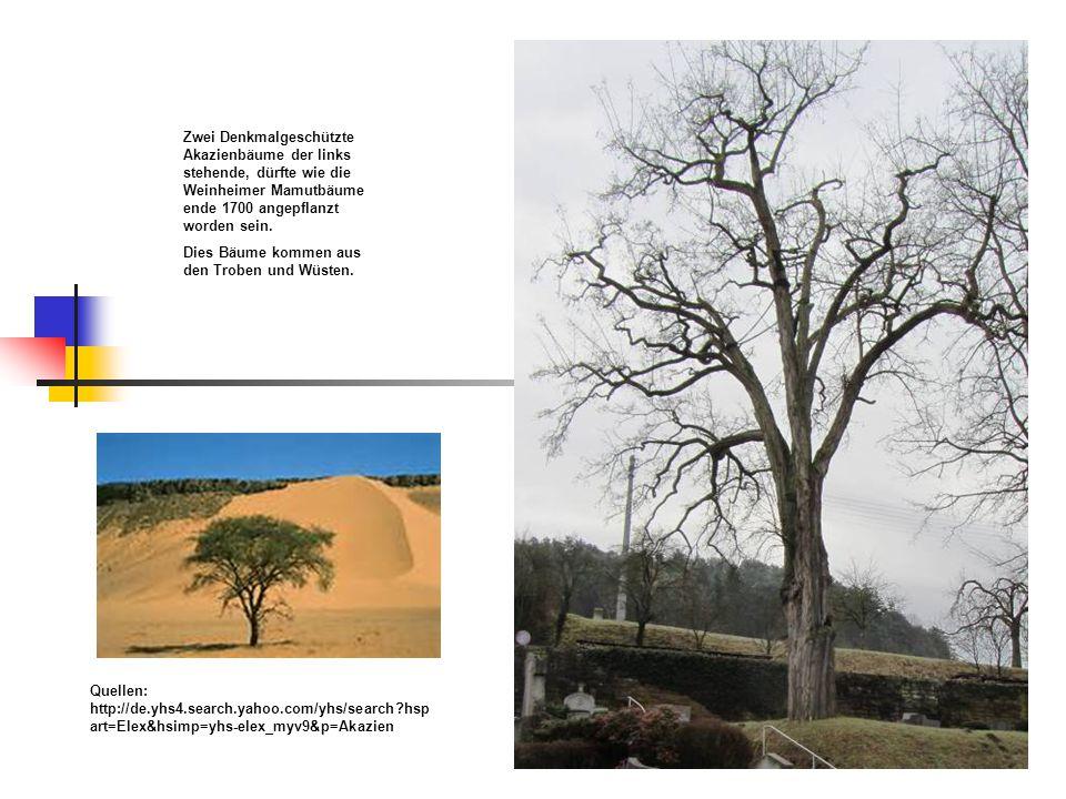 Zwei Denkmalgeschützte Akazienbäume der links stehende, dürfte wie die Weinheimer Mamutbäume ende 1700 angepflanzt worden sein. Dies Bäume kommen aus