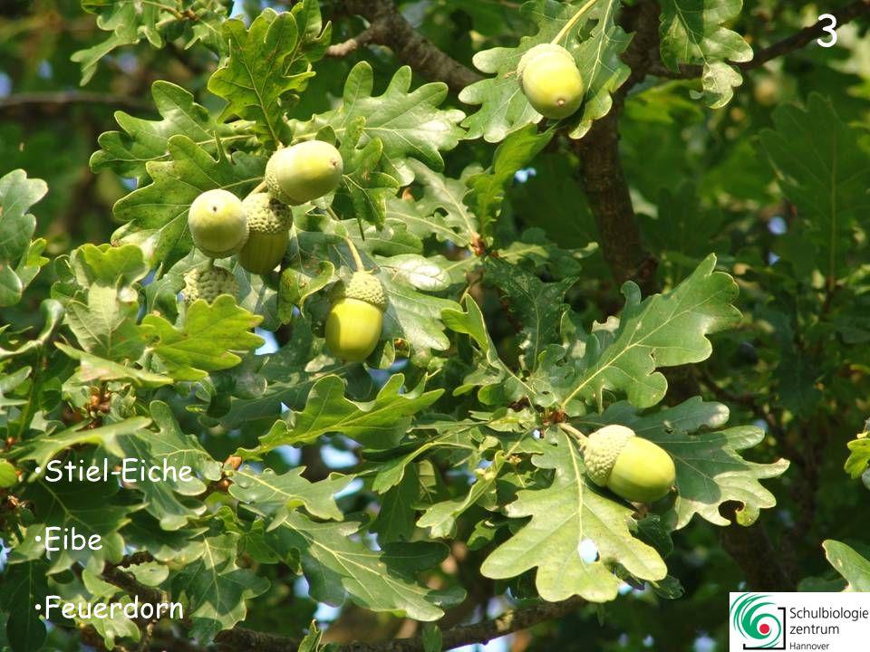 63 Berberitze (Sauerdorn) Eberesche (Vogelbeere) Ilex Liguster 63