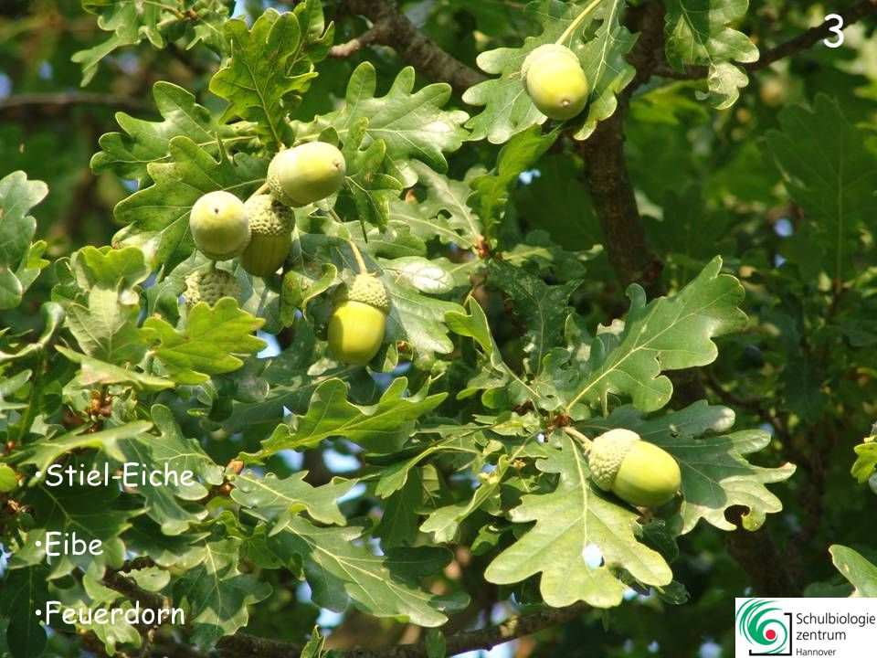 33 Apfel Ross-Kastanie Zaubernuss Echte Mispel 33