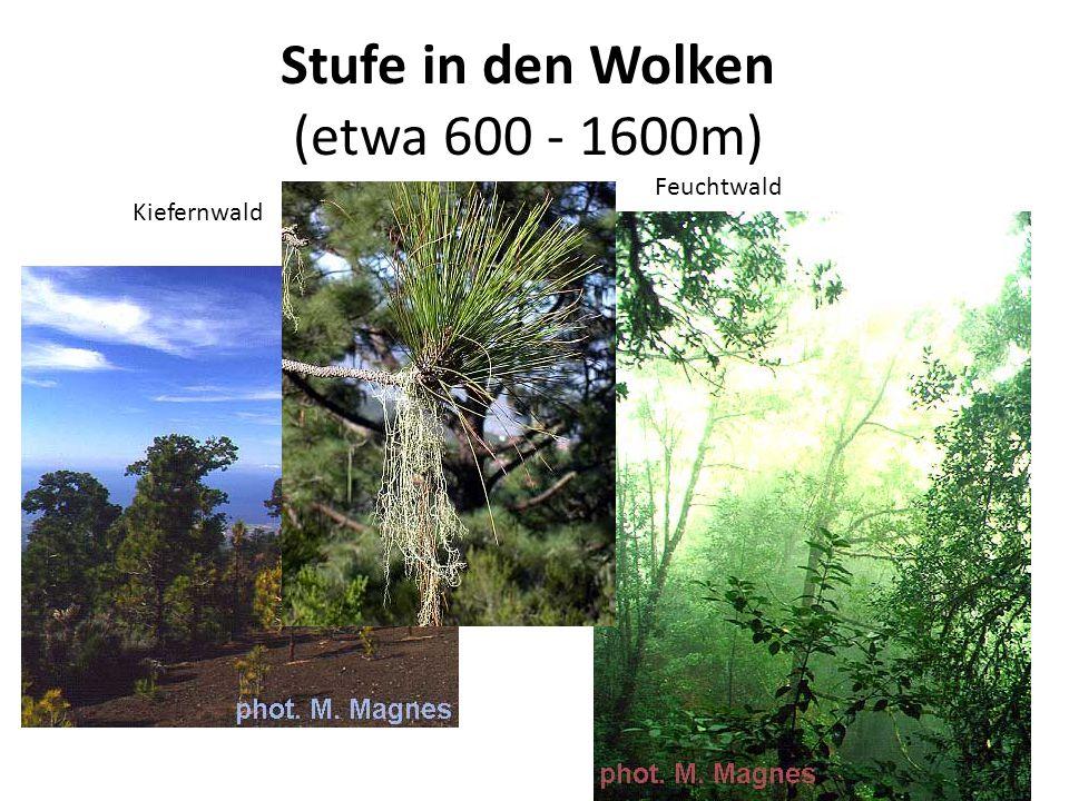 Stufe in den Wolken (etwa 600 - 1600m) Kiefernwald Feuchtwald