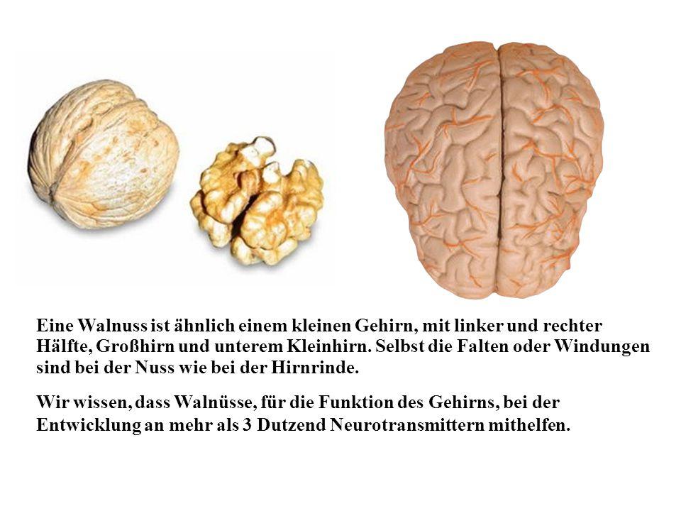 Eine Walnuss ist ähnlich einem kleinen Gehirn, mit linker und rechter Hälfte, Großhirn und unterem Kleinhirn.