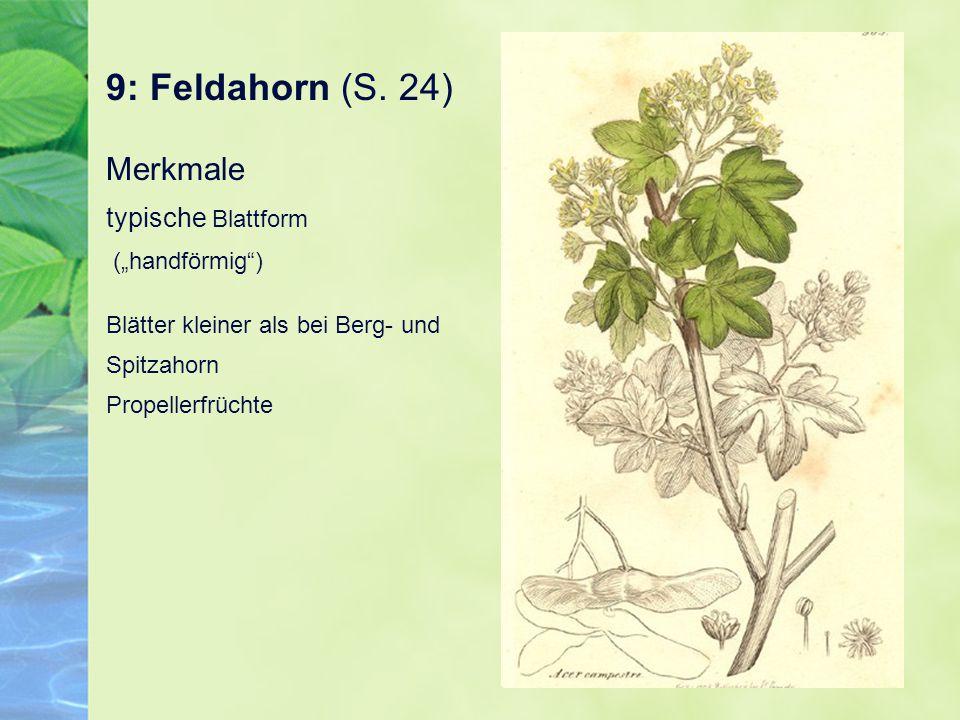 """9: Feldahorn (S. 24) Merkmale typische Blattform (""""handförmig"""") Blätter kleiner als bei Berg- und Spitzahorn Propellerfrüchte"""