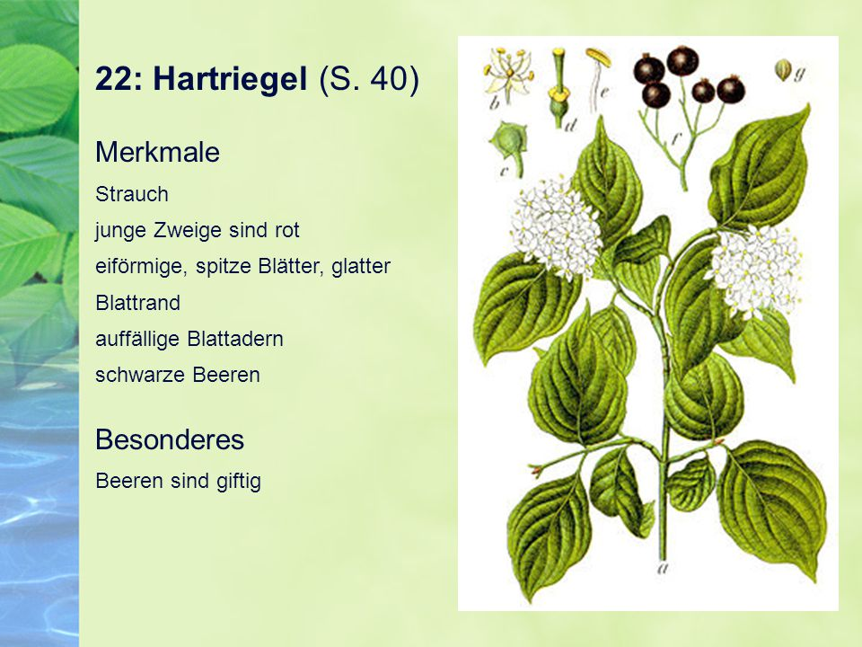 22: Hartriegel (S. 40) Merkmale Strauch junge Zweige sind rot eiförmige, spitze Blätter, glatter Blattrand auffällige Blattadern schwarze Beeren Beson