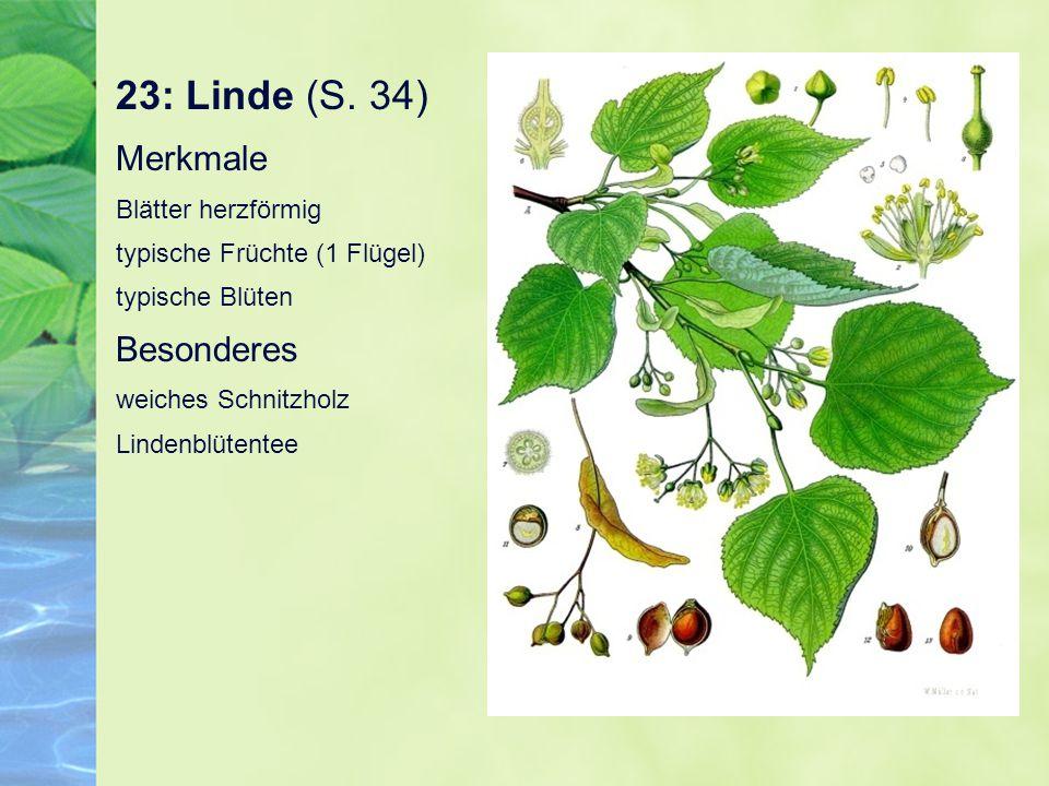 23: Linde (S. 34) Merkmale Blätter herzförmig typische Früchte (1 Flügel) typische Blüten Besonderes weiches Schnitzholz Lindenblütentee