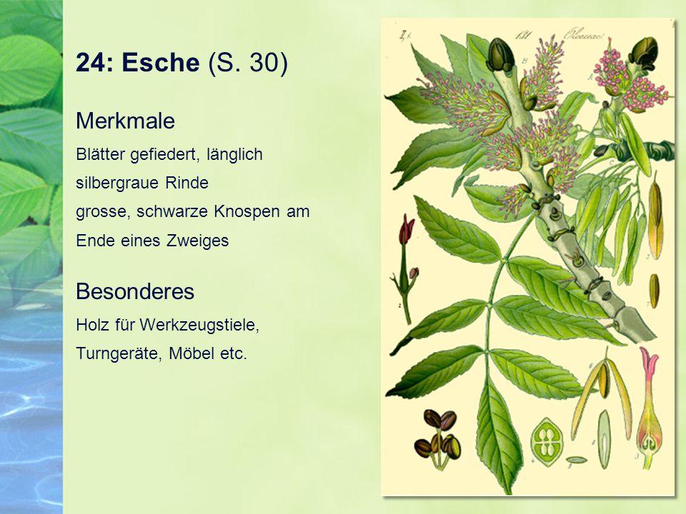 24: Esche (S. 30) Merkmale Blätter gefiedert, länglich silbergraue Rinde grosse, schwarze Knospen am Ende eines Zweiges Besonderes Holz für Werkzeugst
