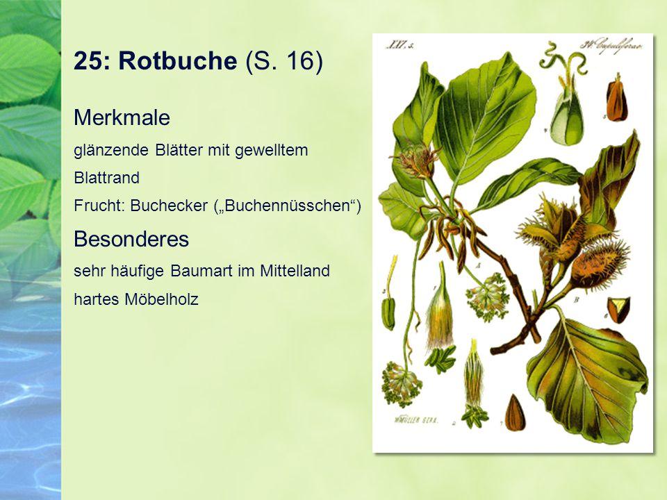 """25: Rotbuche (S. 16) Merkmale glänzende Blätter mit gewelltem Blattrand Frucht: Buchecker (""""Buchennüsschen"""") Besonderes sehr häufige Baumart im Mittel"""