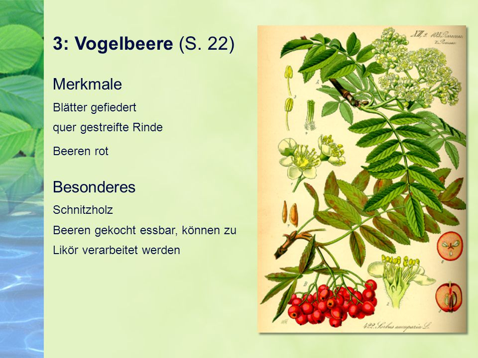 3: Vogelbeere (S. 22) Merkmale Blätter gefiedert quer gestreifte Rinde Beeren rot Besonderes Schnitzholz Beeren gekocht essbar, können zu Likör verarb