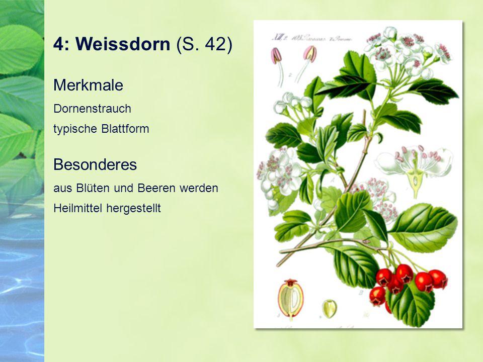 4: Weissdorn (S. 42) Merkmale Dornenstrauch typische Blattform Besonderes aus Blüten und Beeren werden Heilmittel hergestellt