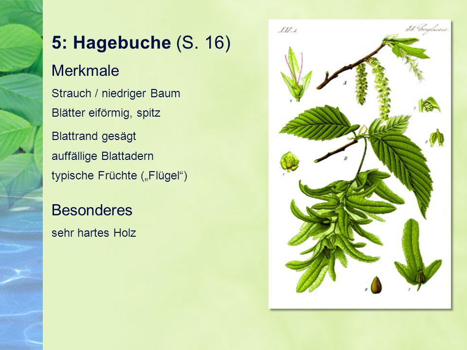 """5: Hagebuche (S. 16) Merkmale Strauch / niedriger Baum Blätter eiförmig, spitz Blattrand gesägt auffällige Blattadern typische Früchte (""""Flügel"""") Beso"""