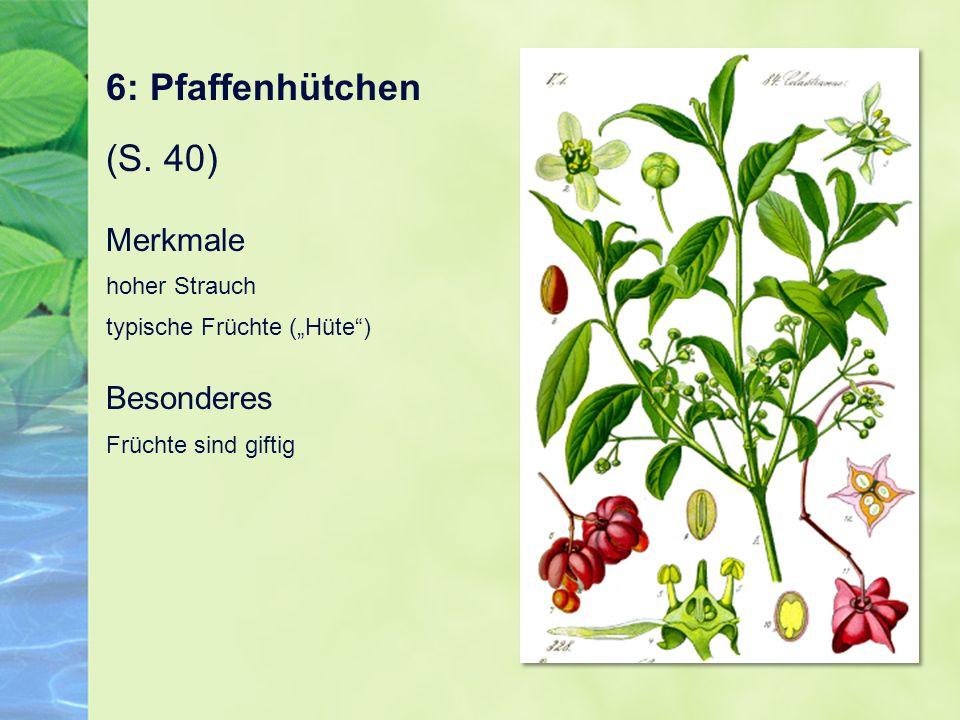 """6: Pfaffenhütchen (S. 40) Merkmale hoher Strauch typische Früchte (""""Hüte"""") Besonderes Früchte sind giftig"""