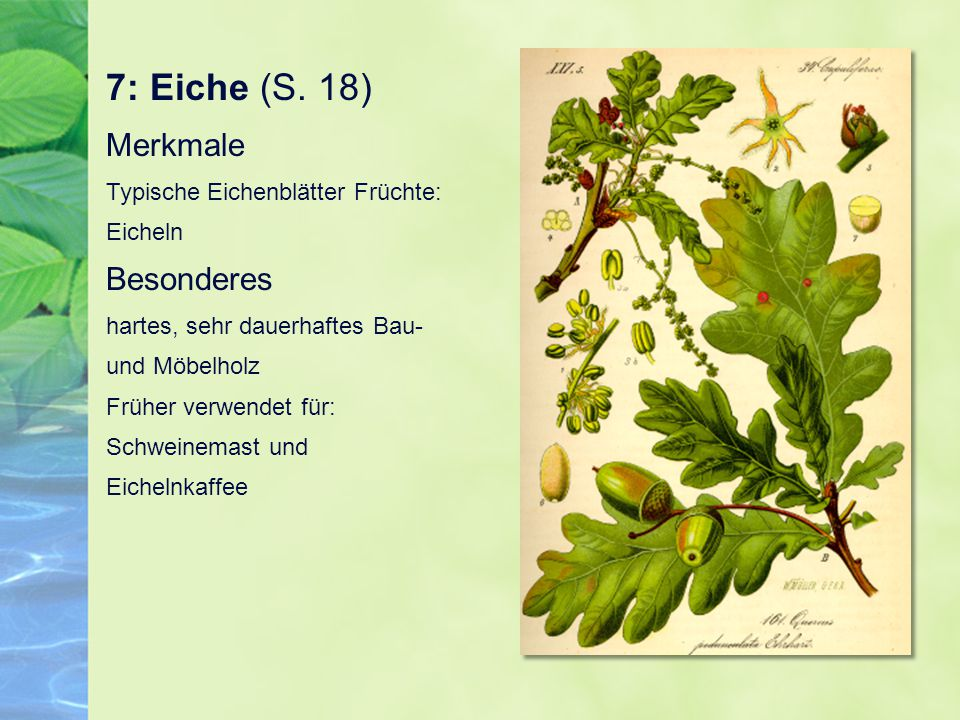 7: Eiche (S. 18) Merkmale Typische Eichenblätter Früchte: Eicheln Besonderes hartes, sehr dauerhaftes Bau- und Möbelholz Früher verwendet für: Schwein