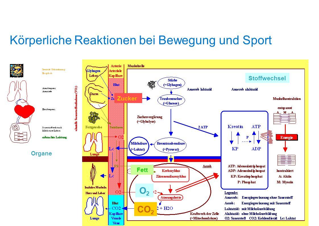 Körperliche Reaktionen bei Bewegung und Sport Energie Organe Hormone Durchblutung Stoffwechsel Zucker Fett O2O2 CO 2