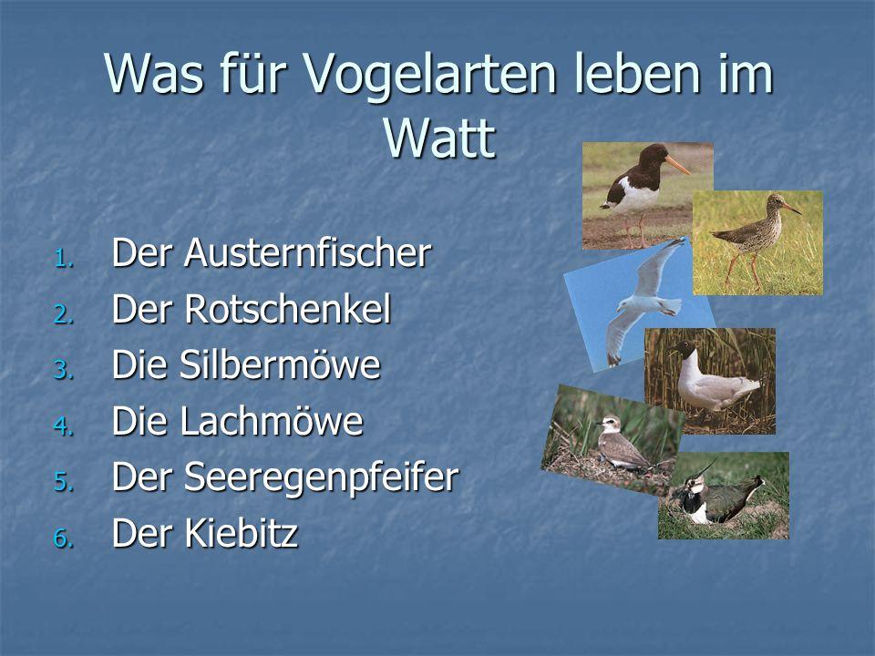 Was für Vogelarten leben im Watt 1. Der Austernfischer 2. Der Rotschenkel 3. Die Silbermöwe 4. Die Lachmöwe 5. Der Seeregenpfeifer 6. Der Kiebitz