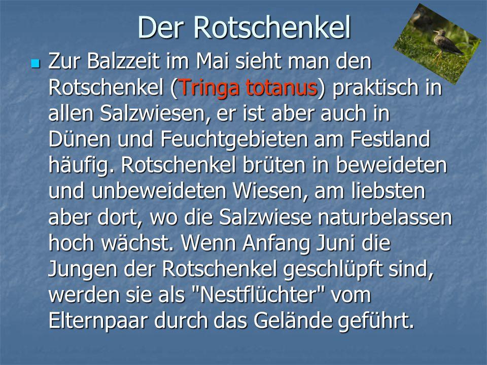 Der Rotschenkel Zur Balzzeit im Mai sieht man den Rotschenkel (Tringa totanus) praktisch in allen Salzwiesen, er ist aber auch in Dünen und Feuchtgebi