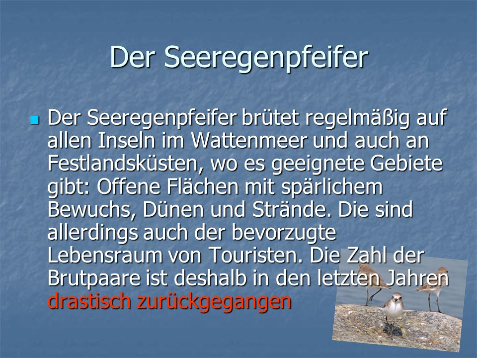 Der Seeregenpfeifer Der Seeregenpfeifer brütet regelmäßig auf allen Inseln im Wattenmeer und auch an Festlandsküsten, wo es geeignete Gebiete gibt: Offene Flächen mit spärlichem Bewuchs, Dünen und Strände.