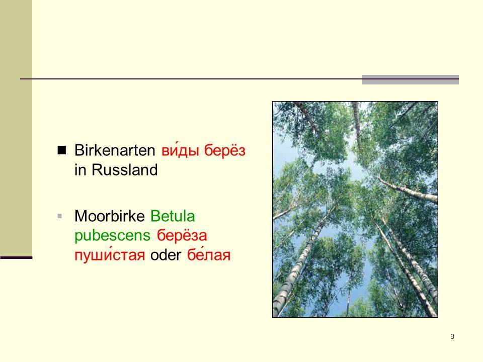 3 Birkenarten ви́ды берëз in Russland  Moorbirke Betula pubescens берëза пуши́стая oder бе́лая