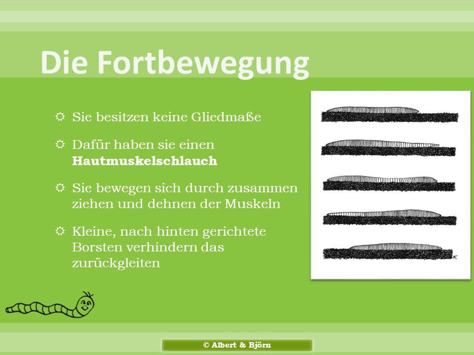  Fachwort: Lumbricus terrestris  Stamm: Ringelwürmer (Annelida)  Größe: Von 12 – 30 cm  Gewicht: bis zu 2,03 g