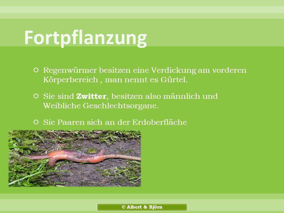  Regenwürmer besitzen eine Verdickung am vorderen Körperbereich, man nennt es Gürtel.