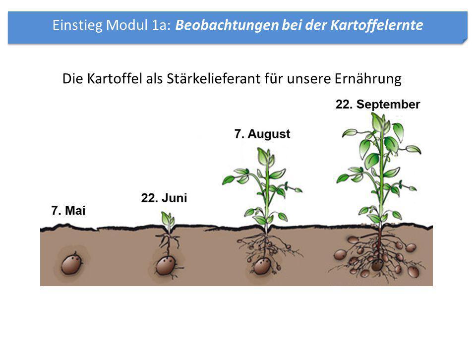 Einstieg Modul 1a: Beobachtungen bei der Kartoffelernte Die Kartoffel als Stärkelieferant für unsere Ernährung