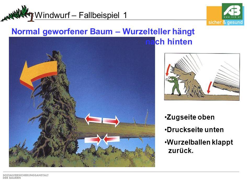 Zugseite oben Druckseite unten Wurzelballen klappt zurück. Windwurf – Fallbeispiel 1 Normal geworfener Baum – Wurzelteller hängt nach hinten